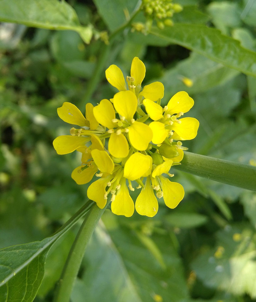 Image of a mustard flower